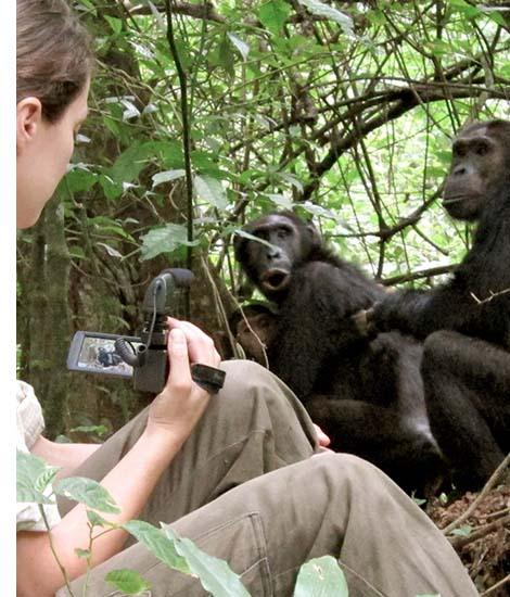 chimpanzee Filming in Uganda