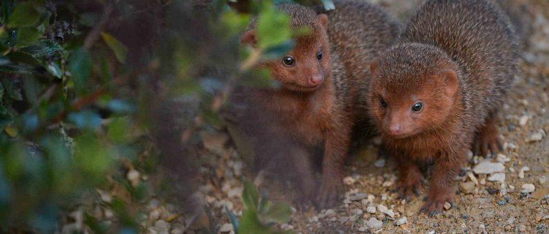 mongoose filming