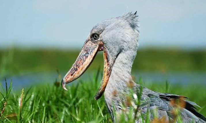 best place to film shoebill stock in Uganda