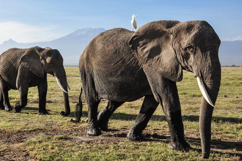 filming elephants in Mount kenya National park - Elephants in Aberdare National Park
