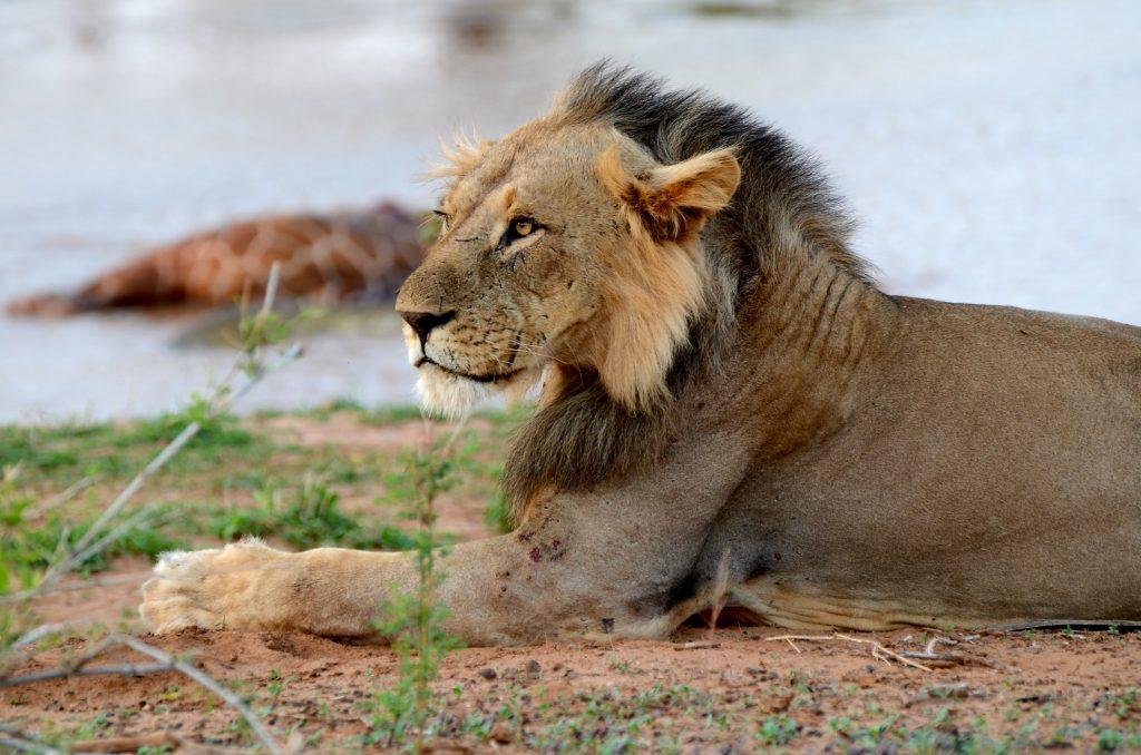 filming lions in samburu national park - lions tracking in Ol Pejeta Conservancy