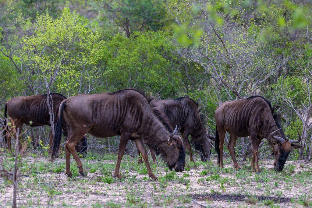 wildebeasts filming in masai mara