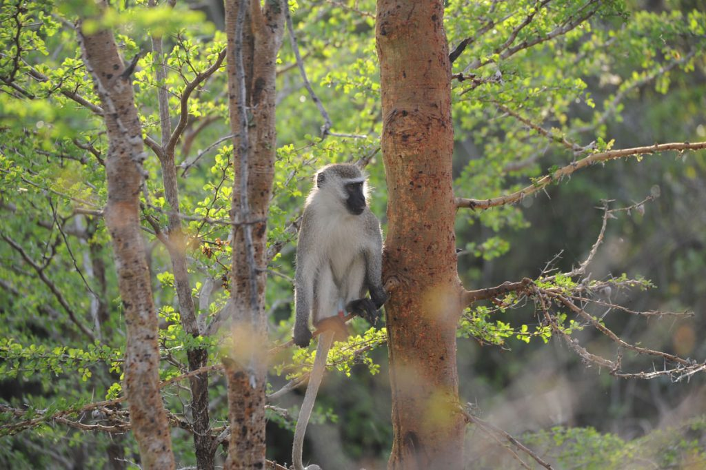 Vervet Monkey Saadani National Park - Velvet Monkey in Giswhati Mukura National Park