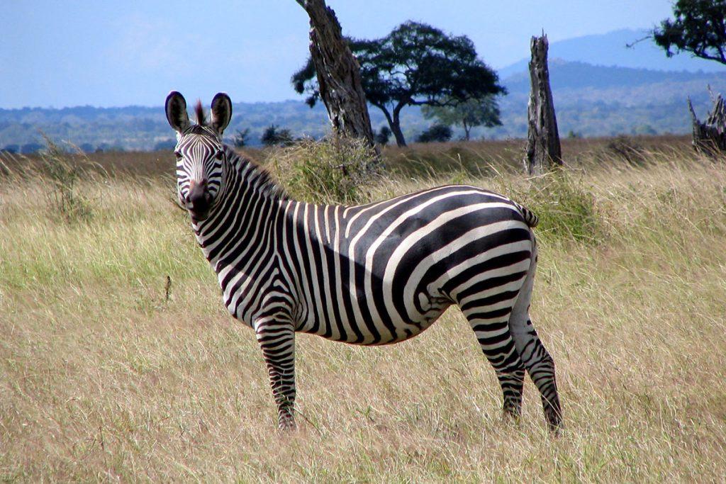 zebras in Tanzania - zebras in filming elephants in Chyulu Hills National Park