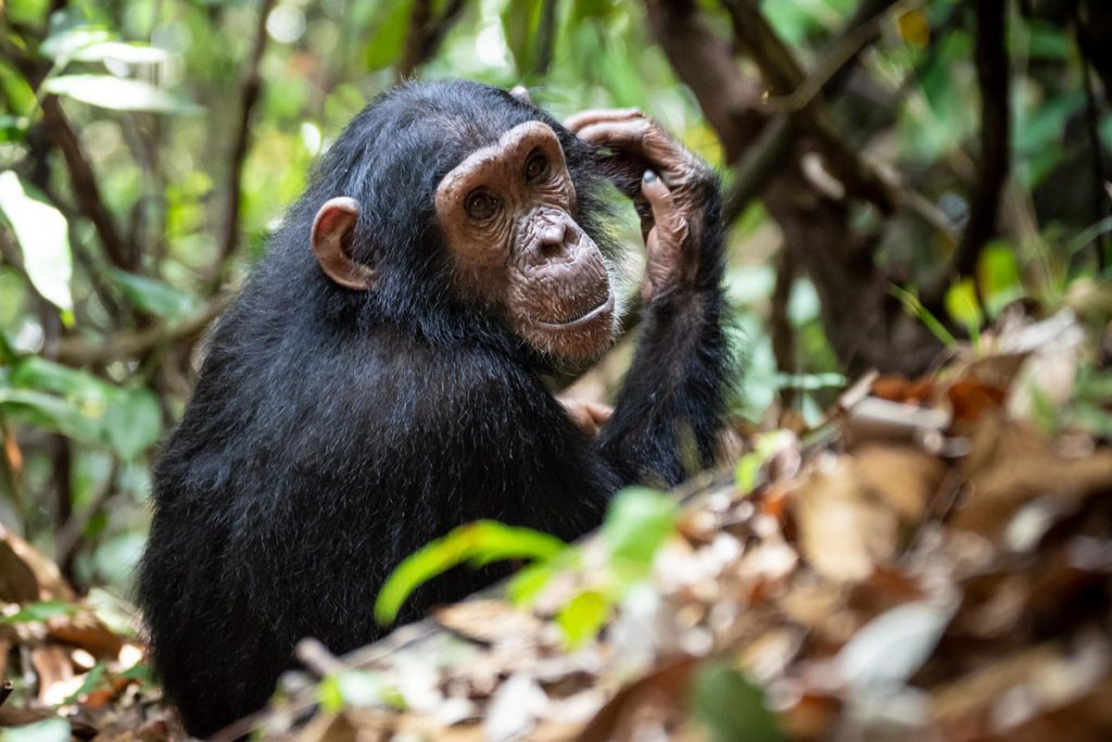 chimpanzee in gombe national park