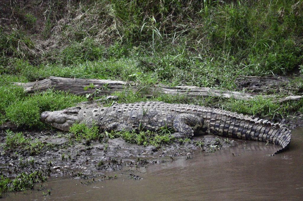 crocodiles in Kenya - crocodiles in Dr congo - filming crocodiles in suoth sudan