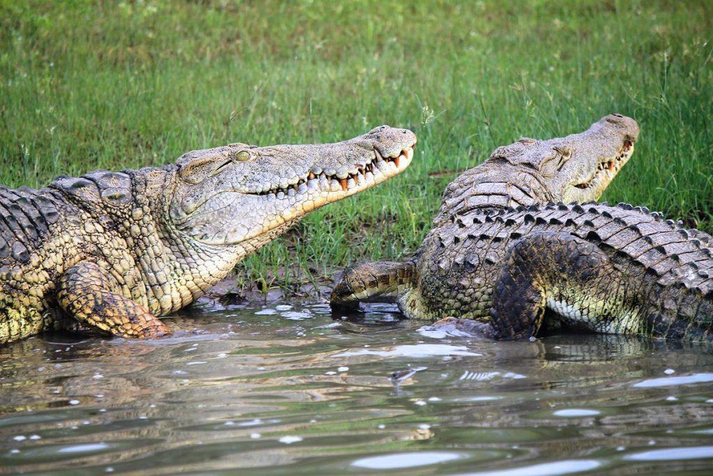 crocodiles in masai mara