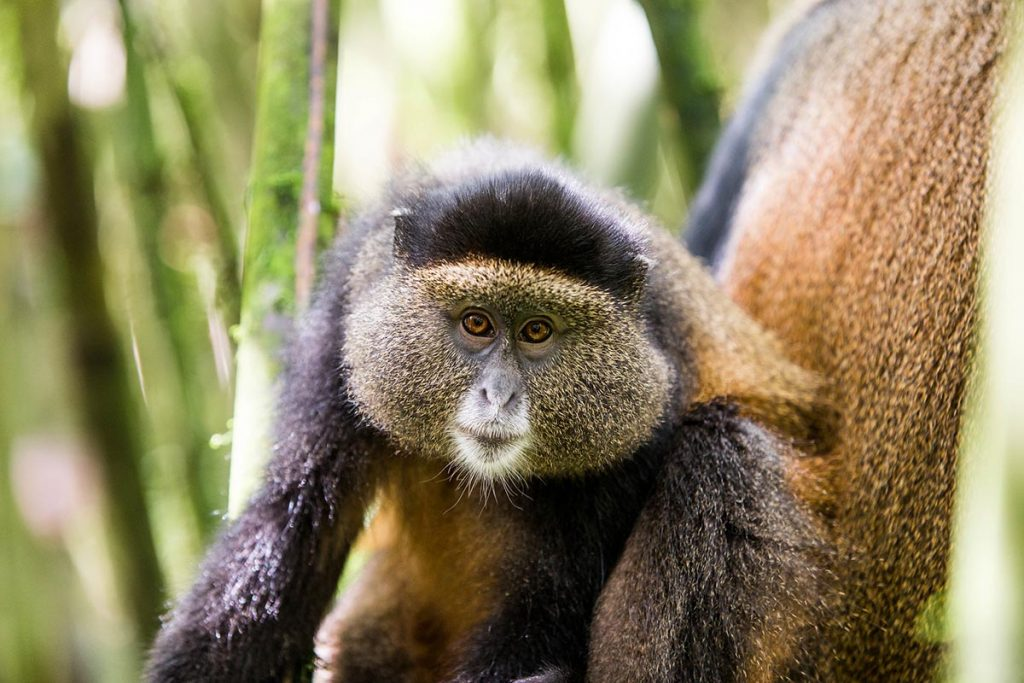 filming golden monkeys in rwanda