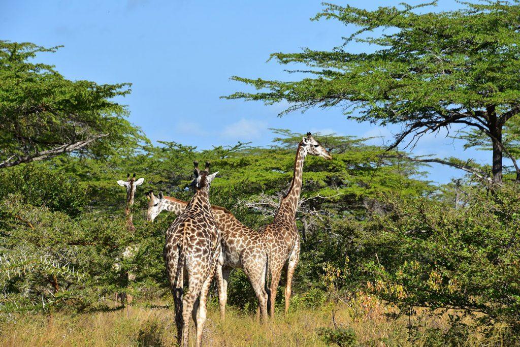 giraffe in selous game reserve - giraffes at Giraffe Manor
