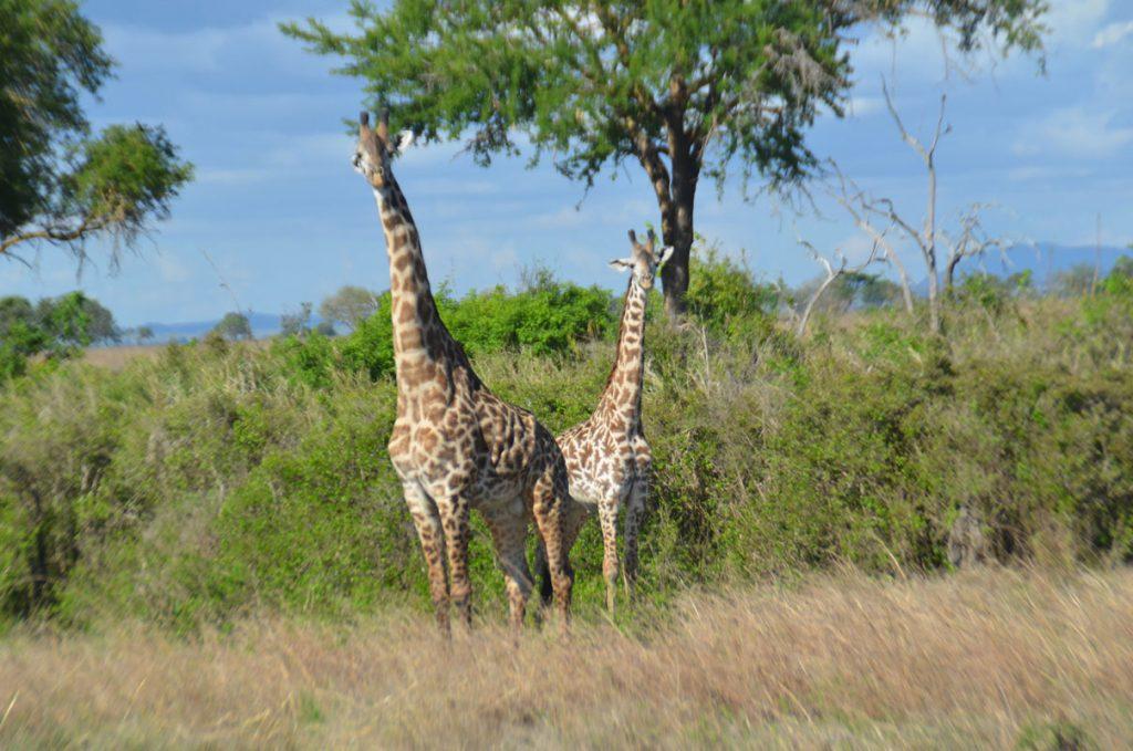 giraffes in Udzungwa National Park - filming giraffes at lake naivasha
