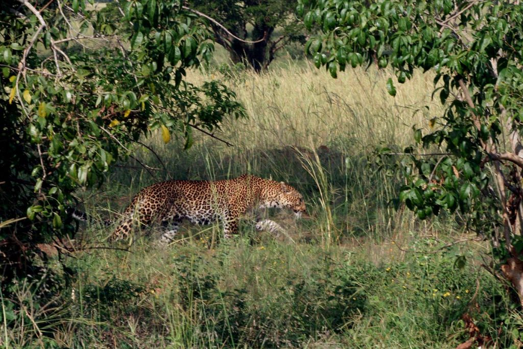 filming leopards in kidepo game reserve