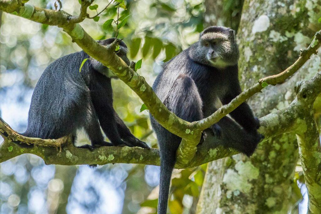 filming monkeys in Kakamega National Reserve