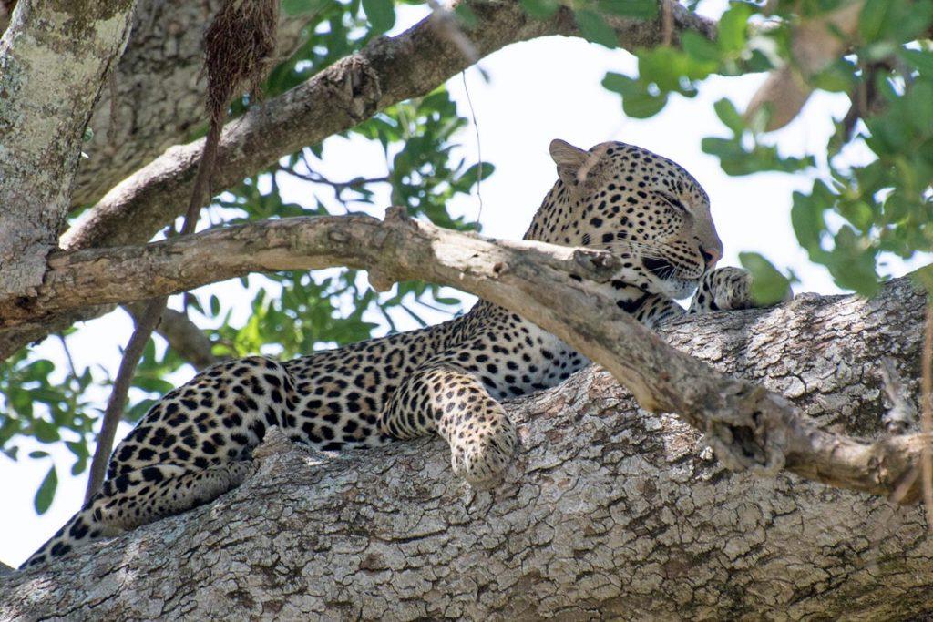 leopards in south sudan