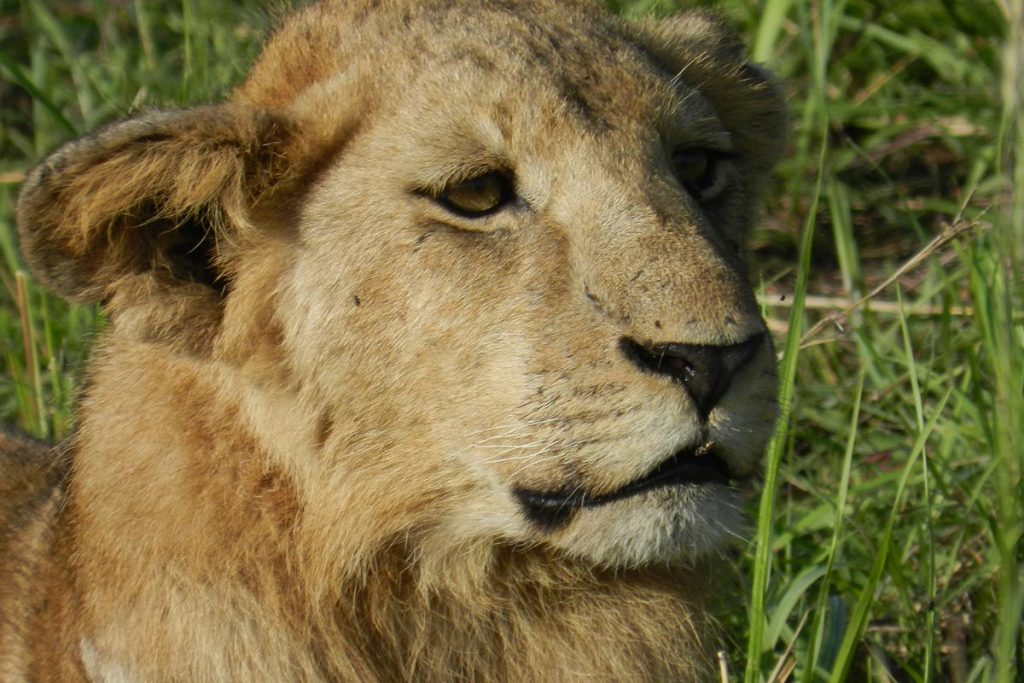 lions in kidepo game reserve - Southern National Park South Sudan
