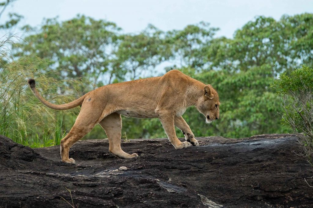 lions in south sudan
